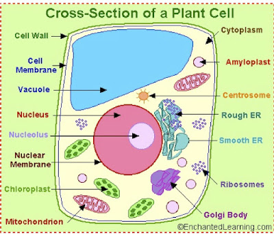 Animal plant cell essay