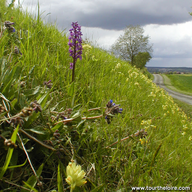 Early Purple Orchid Orchis mascula on a roadside in the Loire Valley.  Indre et Loire, France. Photographed by Susan Walter. Tour the Loire Valley with a classic car and a private guide.