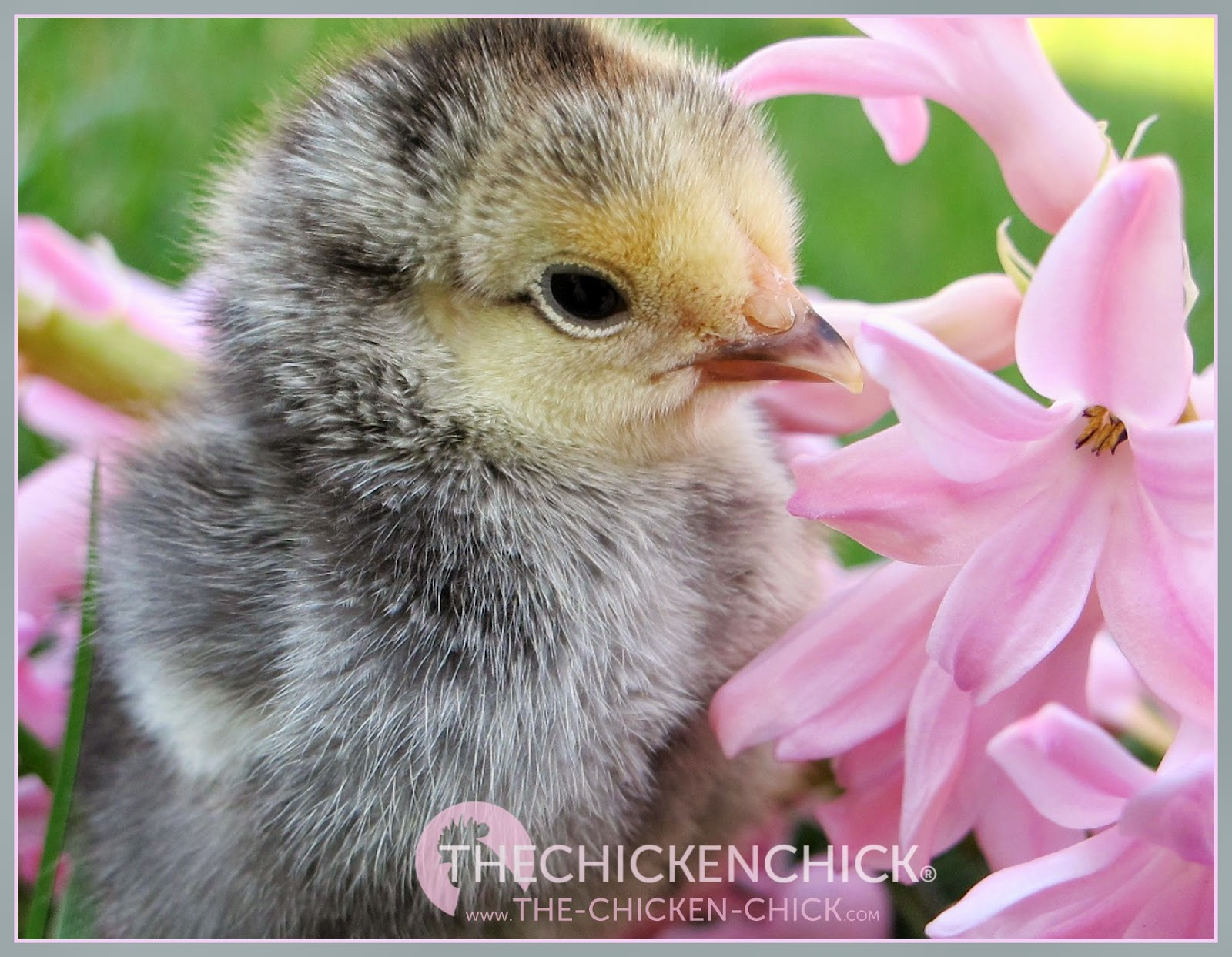 Chick picking Causes Prevention & Solutions via The Chicken Chick®