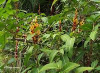 Yellow-orange flowers - Ho'omaluhia Botanical Garden, Kaneohe, HI
