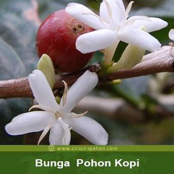 ciri ciri pohon bunga kopi