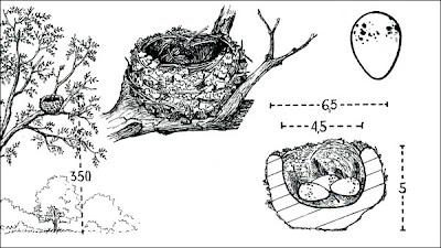 Fiofío pico corto Elaenia parvirostris