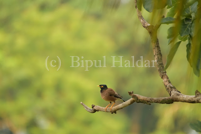 Common Myna resting on a branch