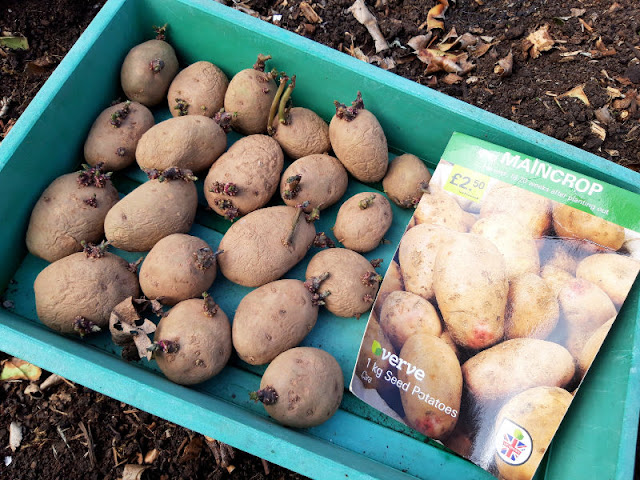 Image shows a green seed tray containing 20 sprouting potatoes and a card to give the potato variety name