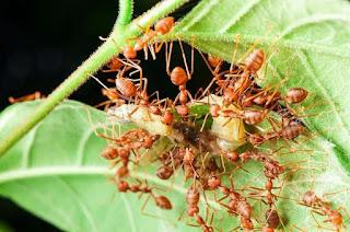 rekomendasi makanan untuk budidaya semut rangrang kroto
