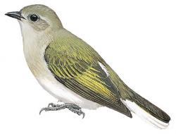 Prodotiscus zambesiae