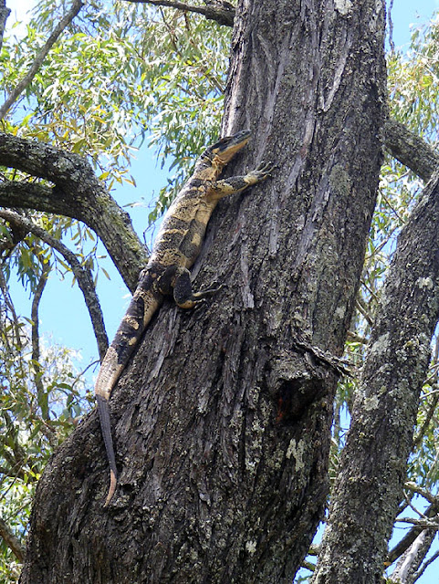 A Lace Monitor (goanna) up an Ironbark Eucalypt tree, Darling Downs, Queensland, Australia. Photographed by Susan Walter. Tour the Loire Valley with a classic car and a private guide.