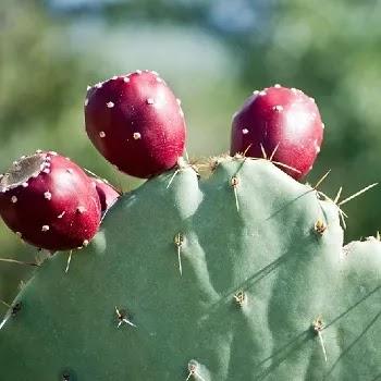 काटेरी पेर, Prickly pear fruits name in Marathi
