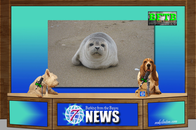 BFTB NETWoof News reports on seal rescue