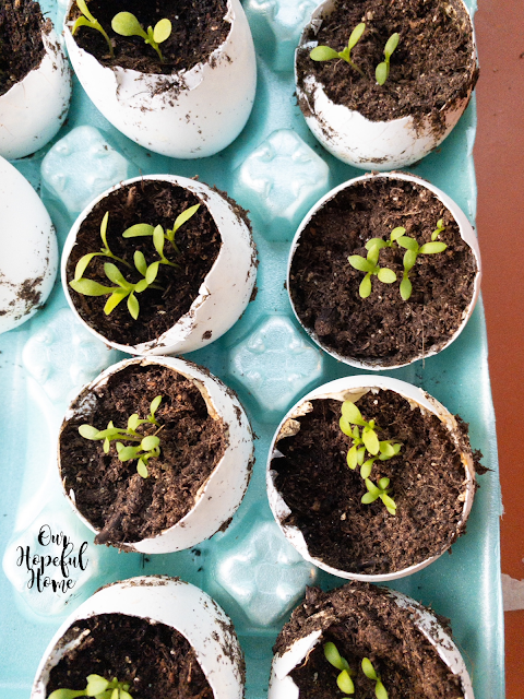 seedlings egg shell pots earth friendly