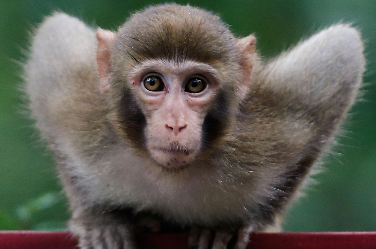Ketahui 11 Gambar Monyet Paling Heboh