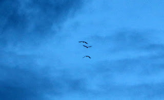 Three very large birds that flew over