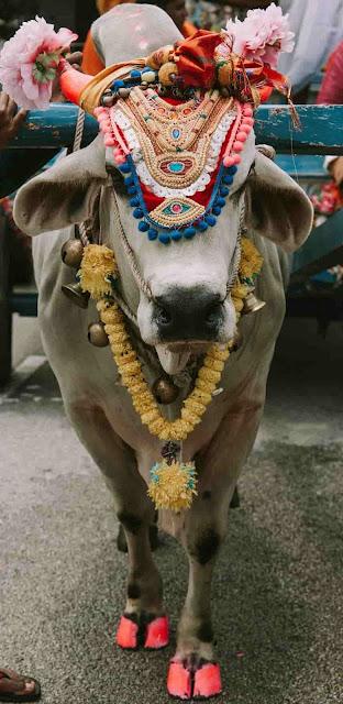 ayurveda sacred cows