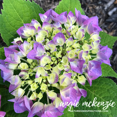 Inspiration for today's card - Hydrangea bloom from my front yard | Nature's INKspirations by Angie McKenzie