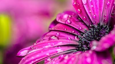 Wallpaper: Purple Flower Macro Water Drops
