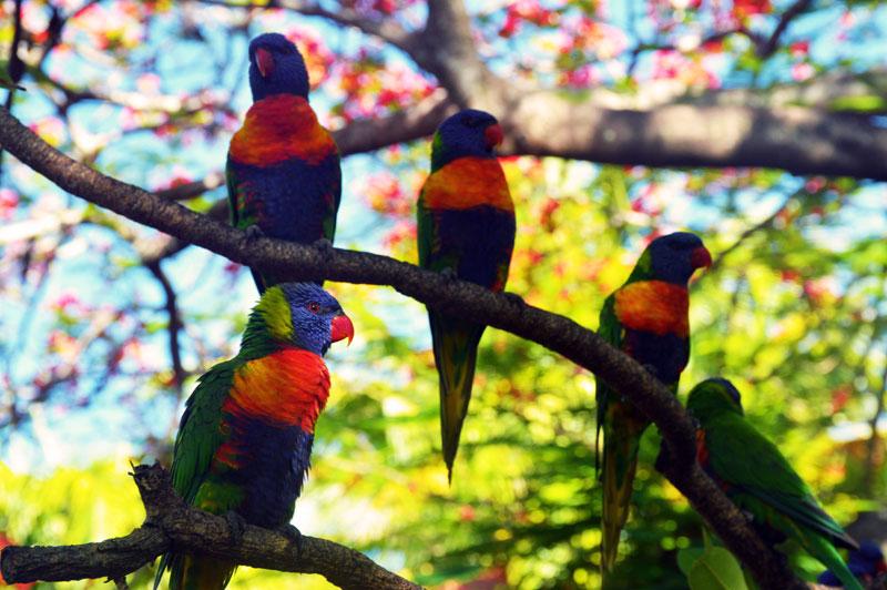 wild rainbow lorikeets magnetic island