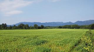 夏のそば畑