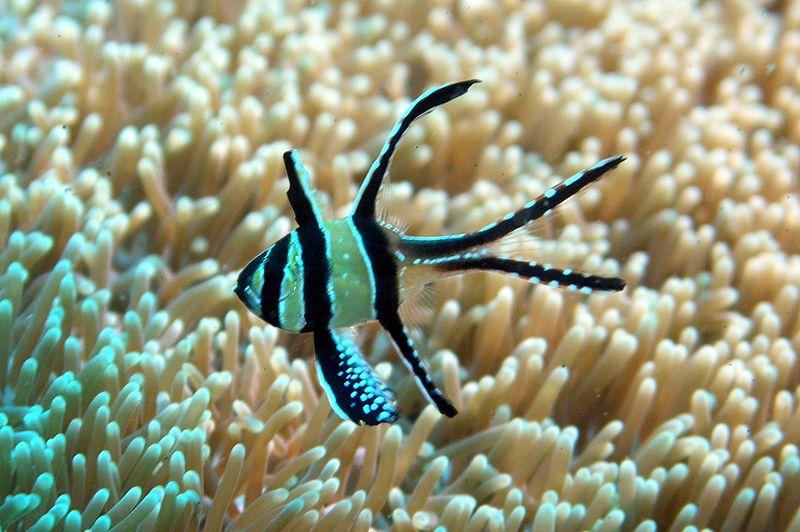 All about betta fish: Banggai cardinalfish (Pterapogon