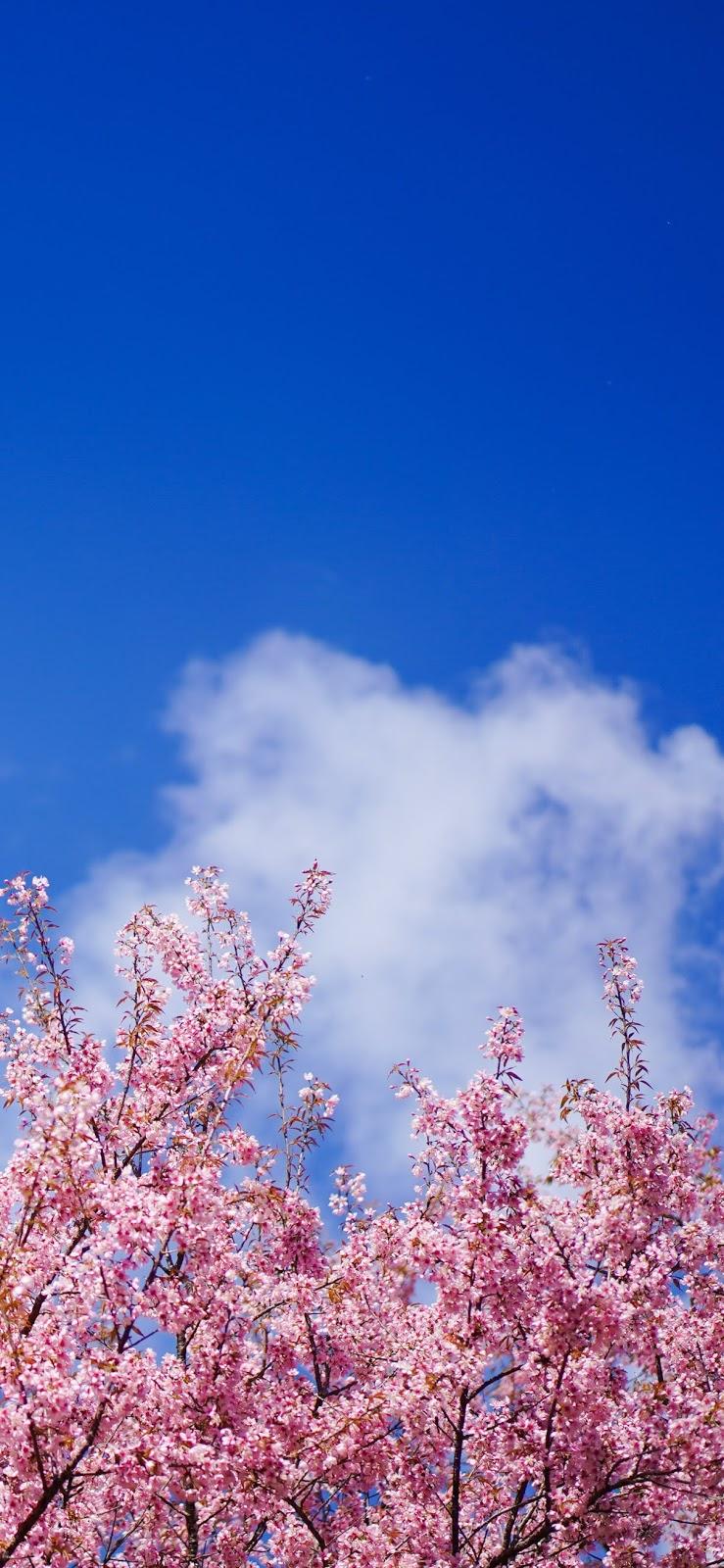 Sakura of the blue sky