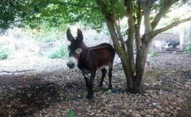 Secuestra a un burro en Motul, pide mil pesos de rescate
