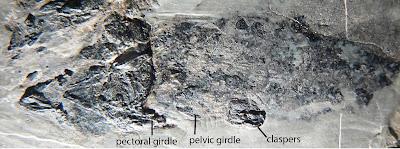 Rhamphodopsis fossil