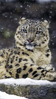 Snow Leopard Female Mobile HD Wallpaper