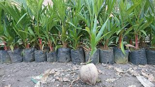 cara menanam bibit kelapa pandan wangi