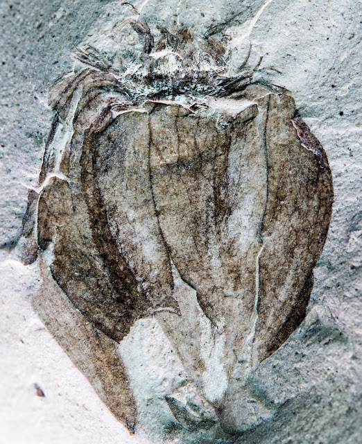 South American fossil tomatillos show nightshades evolved earlier than thought