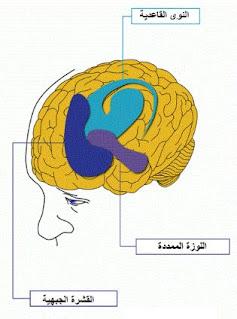 جزاء الدماغ التي تتأثر بتعاطي المخدرات؟
