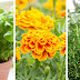 10 PLANTS THAT HELP KEEP IRRITATING INSECTS AT BAY IN WARM WEATHER