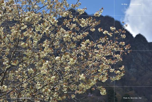 花 桜 御衣黄 Blue Spring Shuffle Kenny Dorham