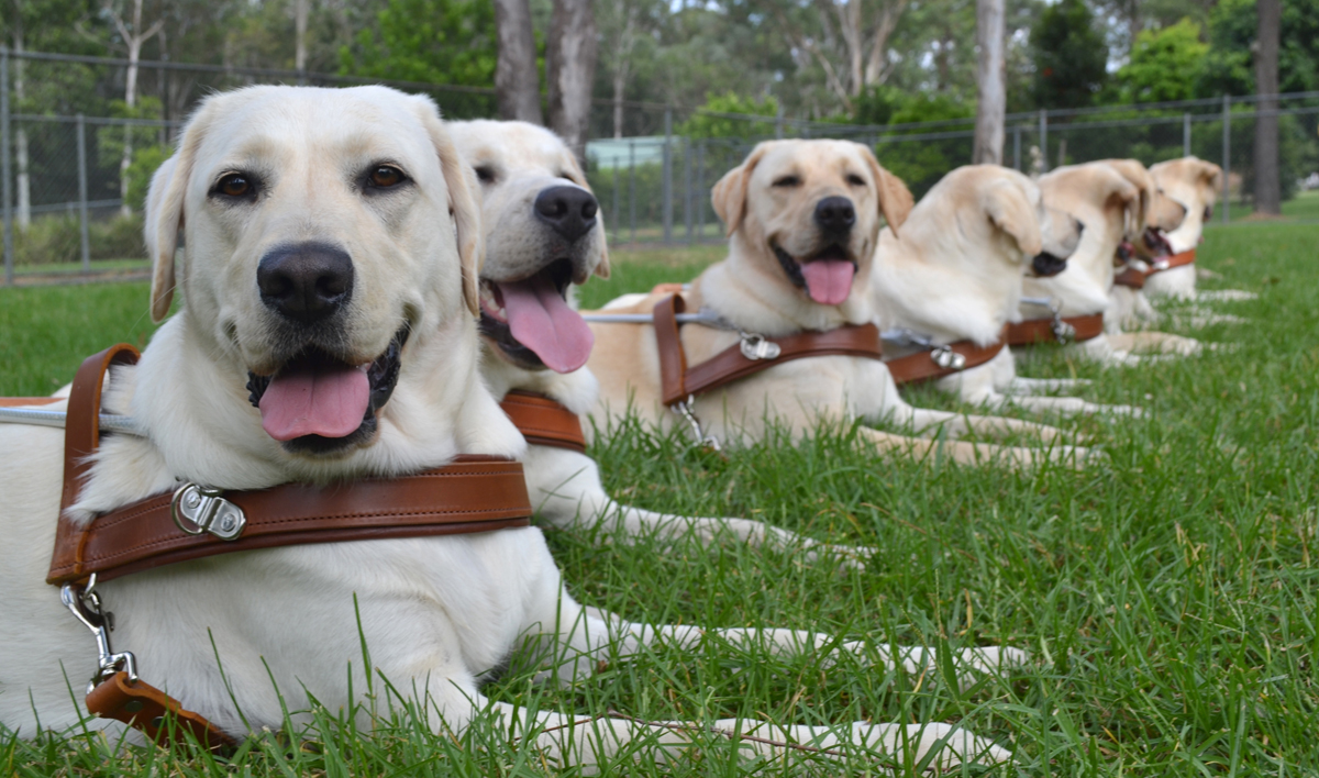 Group of Labrador Retrievers from Guide Dogs NSW wearing leather dog harnesses