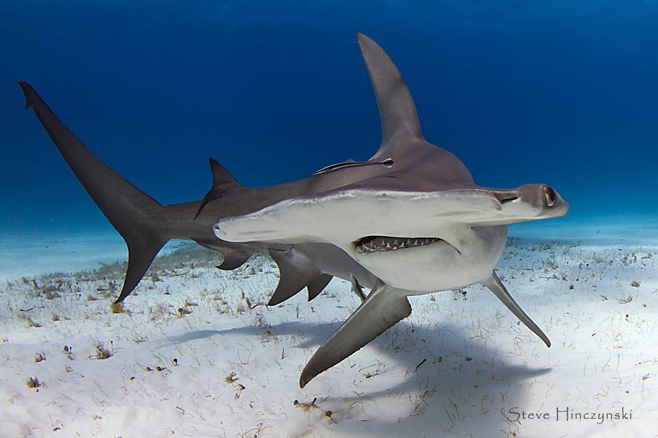 Tiburones en Galicia: Cabezas de martillo (fam. Sphyrnidae)