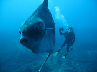 Find the Fish Mola-Mola are rare in Crystal Bay Nusa Penida
