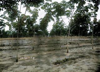 karet muda hevea di batang toru milik sumatra caoutchouc plantage