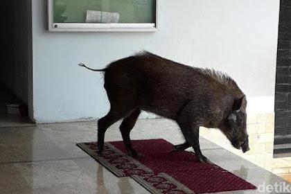 Heboh Babi Hutan Nyelonong Masuk Masjid Saat Ibu-ibu Lagi Pengajian