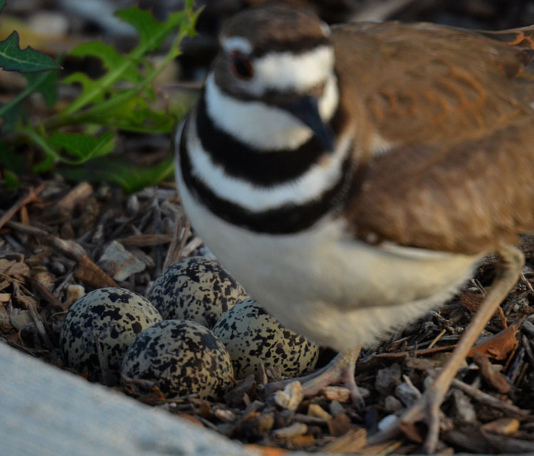 Close-up of Killdeer eggs and a nest scraped into the mulch.