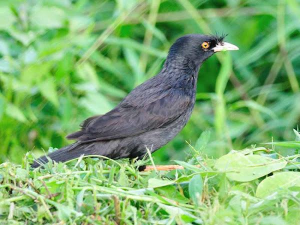 Chim sáo Kỹ thuật nuôi sáo đen, sáo nâu khỏe mạnh nhanh biết nói