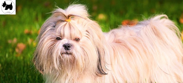 Cutest Dog Breeds, Best Dog, Shih Tzu Dog