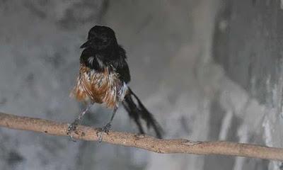 Tips Dan Cara Agar Burung Murai Batu Cepat Mabung Yang Baik Dan Benar