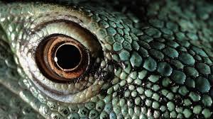 The Hulk-New Guinea Green Blood Lizard