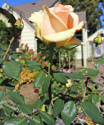 Tall and yellow rose