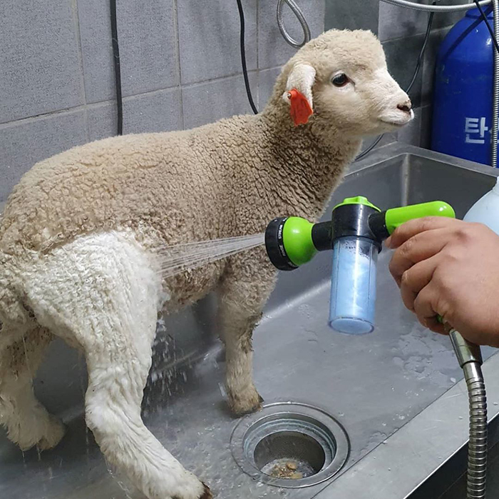 Photos of a lamb getting bathed goes viral