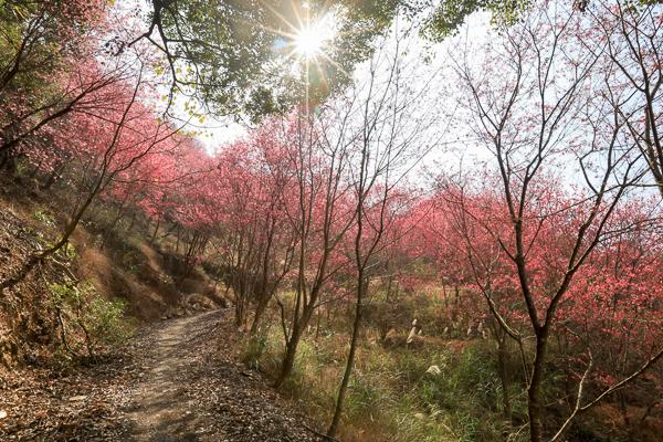 台中新社白毛台櫻花林上千棵櫻花樹的步道,新社賞櫻秘境