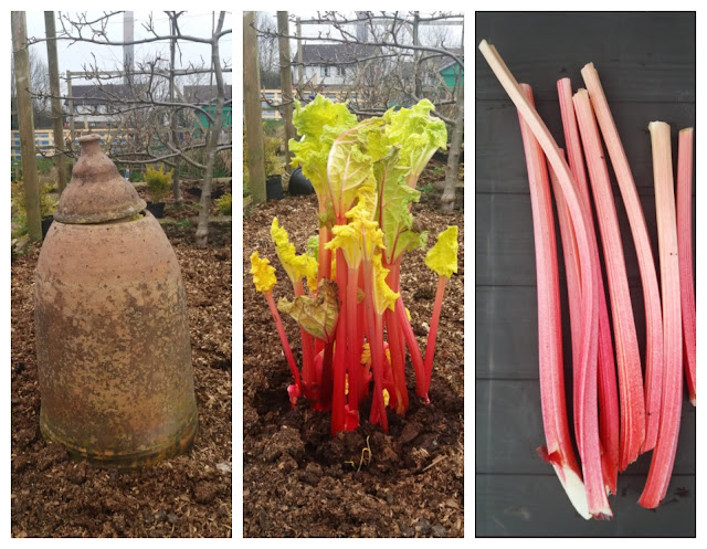 forced rhubarb - yum - a stubborn optimist blog - C Gault 2020