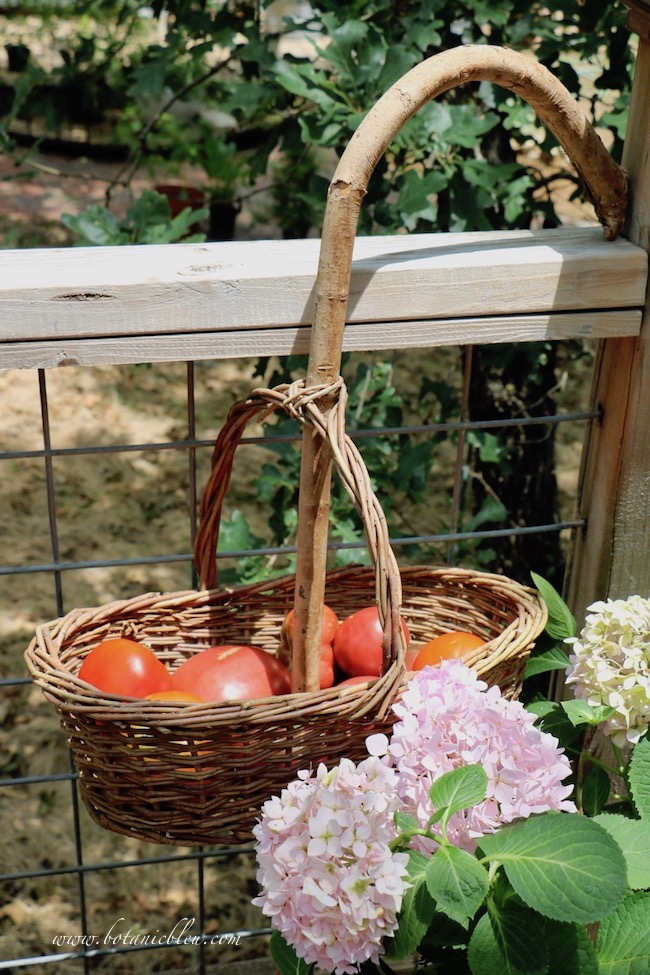 some experts advise picking tomatoes while still green and let them ripen off the vine