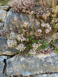 Photo of Sedum dasyphyllum and Sedum album in bloom on a wall in Bergamo.