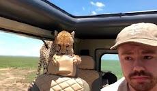 Cheetah Masuk Mobil Saat Tur Safari, Turis Ini Dibikin Deg-degan