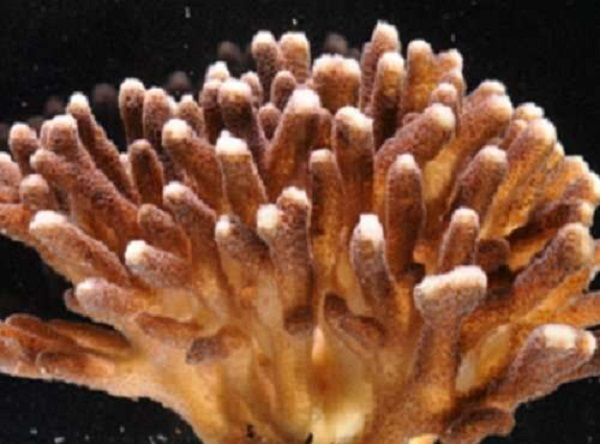 Coral lifestyles reflected in their genes
