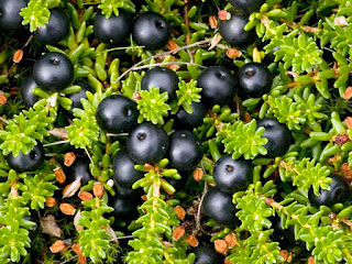 crowberry fruit images